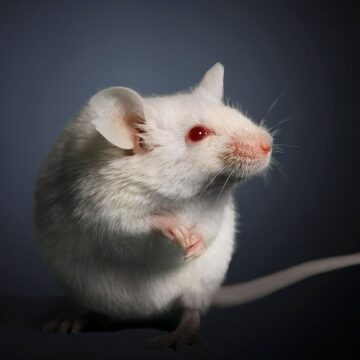 How stress stops hair growth (in mice)